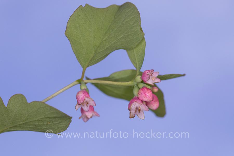 Schneebeere, Gewöhnliche Schneebeere, Blüte, Blüten, blühend, Knallerbsenstrauch, Symphoricarpos albus, Snowberry, Waxberry, La symphorine