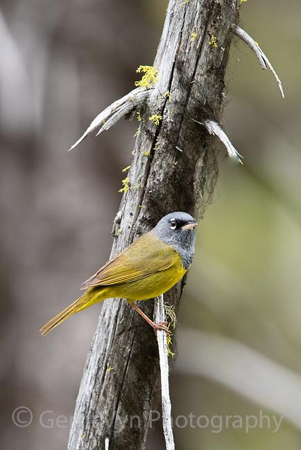 MacGillivray's Warbler (Geothlypis tolmiei). Deschutes County, Oregon. May.