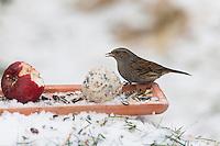 Heckenbraunelle, selbstgemachtes Vogelfutter, Bodenfütterung mit Apfel, Körnern, Meisenknödel, Fettfutter, Vogelfütterung, Fütterung, Winterfütterung, Winter, Schnee, Hecken-Braunelle, Prunella modularis, Dunnock, hedge accentor, hedge sparrow, hedge warbler, bird's feeding, snow, L'Accenteur mouchet