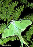 LE10-038x  Luna Moth - male adult with large antennae - Actias luna