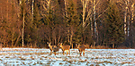 White-tailed does and fawns walking in a snow-covered field.