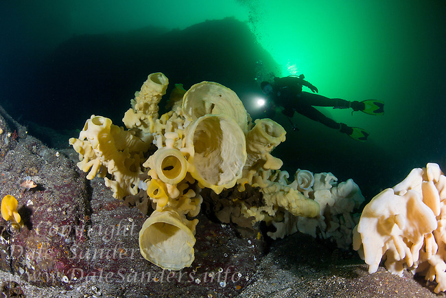 Scuba Diver explores a wall of giant Cloud Sponges (Aphrocallistes vastus) underwater in Agamemnon Channel on the Sunshine Coast of British Columbia, Canada.
