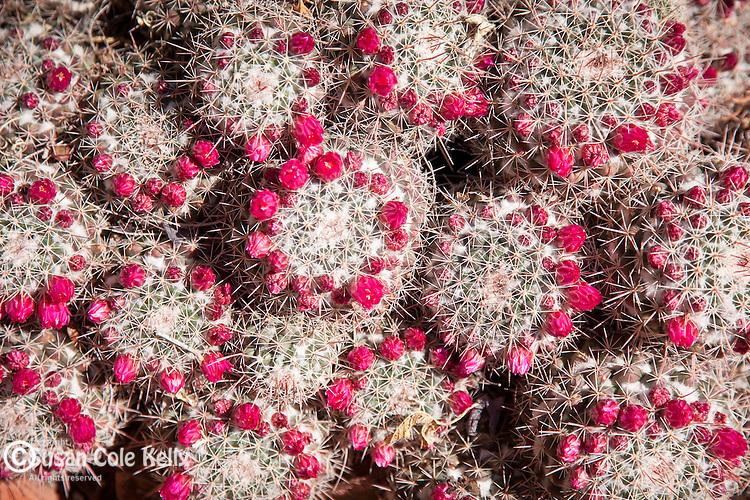Cactus in bloom at the Arizona Sonoran Desert Museum in Tucson, AZ, USA