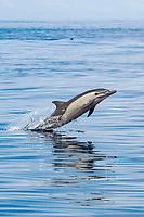 Short-beaked Common Dolphin, Delphinus delphis, breaching, Costa Rica, Pacific Ocean