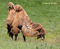 0620-1001  Bactrian Camel Eating Grass, Camelus bactrianus  © David Kuhn/Dwight Kuhn Photography
