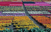 A large field of flowers of different types and varieties being grown for their seeds. Farming, rainbow colors, bright color, yellow, orange, pink, red, green, purple, white, green. California United States Flower seed farm near Gilroy.