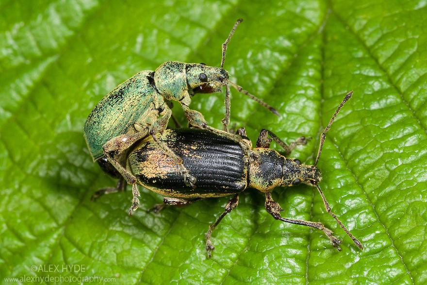 Nettle Weevil (Phyllobius pomaceus / urticae) mating pair on nettle leaf, Nottinghamshire, UK. May.