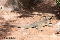 0628-1101  Anegada Ground Iguana (Stout Iguana), Cyclura pinguis  © David Kuhn/Dwight Kuhn Photography