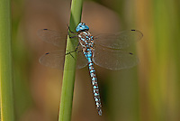 339360021 a wild male blue-eyed darner rhionaeschna multicolor perches on a cattail frond along piru creek frenchman's flat los angeles county california