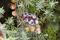 Großfrüchtiger Stech-Wacholder, Stechwacholder, Früchte, Stech-Wacholder, Großfrüchtiger Wacholder, Großfrüchtiger Stechwacholder, Zedern-Wacholder, Juniperus oxycedrus, Juniperus oxycedrus ssp. macrocarpa, Juniperus oxycedrus macrocarpa, Juniperus macrocarpa, Prickly Juniper, Prickly Cedar, Cade Juniper, Cade, Sharp Cedar, Large-fruited Juniper