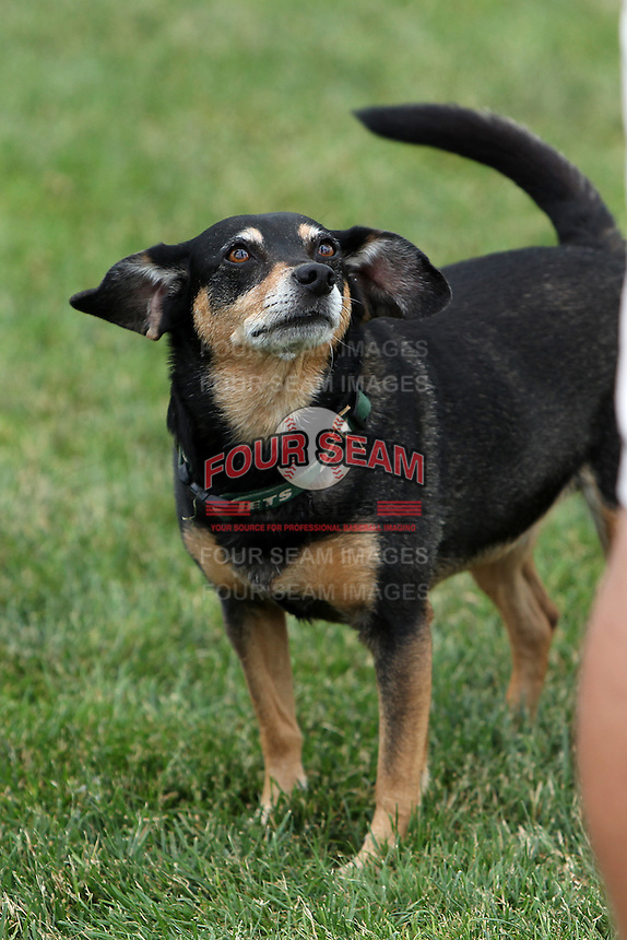 Batavia Muckdogs groundskeeper Don Rock's dog Haley is looking forward to a new season during the first day of practice for the start of the NY-Penn League at the Dwyer Stadium in Batavia, New York;  June 13, 2011.  Photo By Mike Janes/Four Seam Images