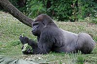 0210-08ss  Western Lowland Gorilla, Gorilla gorilla gorilla © David Kuhn/Dwight Kuhn Photography