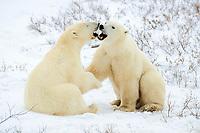 polar bear cubs, Ursus maritimus, sparring, Churchill, Manitoba, Canada, Arctic, polar bear, Ursus maritimus