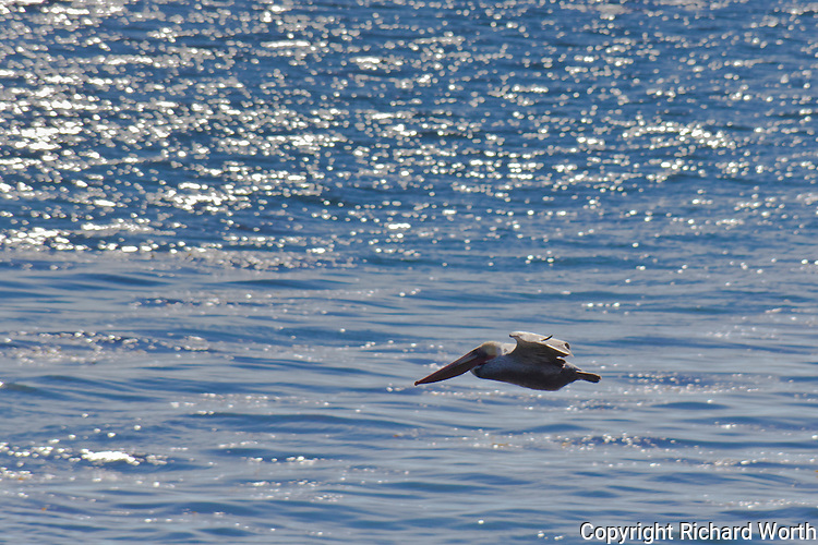 A Brown pelican flies over the glistening, sparkling water at California's Natural Bridges State Beach in Santa Cruz.