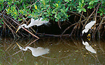 Great and snowy egrets, Ding Darling National Wildlife Refuge, Florida