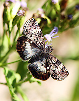 White-patched skipper