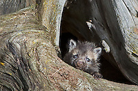 Red Fox Kit peering out of its den - CA