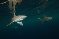 Dusky shark, Carcharhinus obscurus, Chichi-jima, Bonin Islands, Ogasawara Islands, Natural World Heritage Site, Tokyo, Japan, Pacific Ocean
