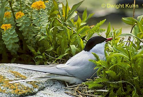 MC55-001d  Arctic Tern - on nest incubating eggs - Machias Seal Island, Bay of Fundy - Sterna paradisaea