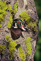 Wood duck drake (Aix sponsa) checking out nesting cavity.  Western U.S., spring.