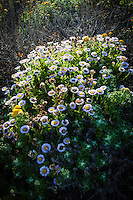 In a flurry of purple and yellow and green, Seaside daisies glow in late morning light at Bean Hollow State Beach.