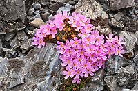 Pink blossoms of Alaska dwarf primrose (Douglasia ochotensis), Puvakrat mountain, National Petroleum Reserve, Alaska.