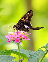 Zilpa longtail skipper on lantana