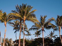 Palm trees at Waikiki Beach, Honolulu, O'Ahu, Hawai'i