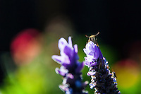 """A moth clings to the petals of a lavender flower and stares directly into the camera while mouthing, """"Oh!"""" - an illusion from natural markings."""