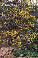Cornus mas in early spring bloom, spring flowering tree shrub, fragrant yellow flowers
