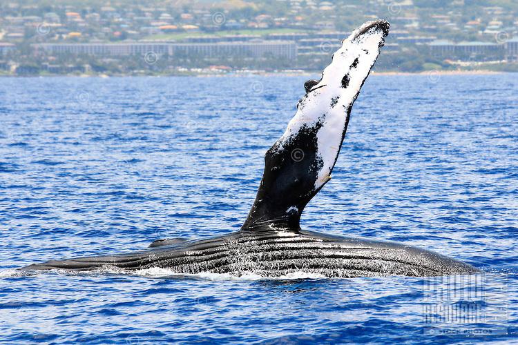 Humpback whale, South Maui, Hawaii.