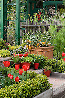 Front steps leading into ornamental vegetable garden in spring with containers of tulips and pots of edibles; Rosalind Creasy front yard garden