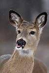 White-tailed deer (Odocoileus virginianus) catching snowflakes on his tongue.  Winter, WI.