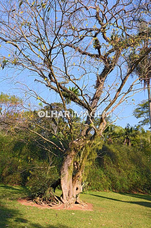 Árvore Sombreiro, Jardim Botânico, São Paulo. 2021. Foto Juca Martins