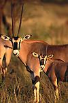 Oryx and calf