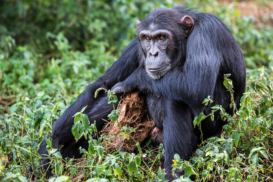 """Male chimp, Baron, is photographed with his """"security blanket"""" --a rag he found in the forest--at the Ngamba Island Chimpanzee Sanctuary in Lake Victoria, Uganda. Baron was rescued from St. Patrick's Socio-Pastoral Centre in Kasonga Village, Hoima District in Uganda. He survived 12 months in a wooden cage (5 x 6 ft) without any nutritious meal. He was kept with a sibling but the sibling died. 03/15/ Julia Cumes/IFAW"""