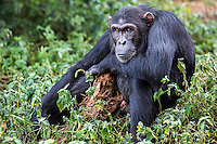 "Male chimp, Baron, is photographed with his ""security blanket"" --a rag he found in the forest--at the Ngamba Island Chimpanzee Sanctuary in Lake Victoria, Uganda. Baron was rescued from St. Patrick's Socio-Pastoral Centre in Kasonga Village, Hoima District in Uganda. He survived 12 months in a wooden cage (5 x 6 ft) without any nutritious meal. He was kept with a sibling but the sibling died. 03/15/ Julia Cumes/IFAW"