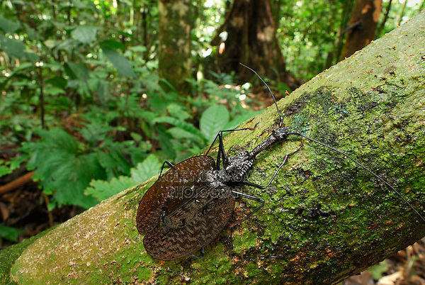 .Fiddle Beetle or Violin Beetle (Mormolyce phyllodes), adult, Danum Valley Conservation Area, Sabah, Borneo, Malaysia