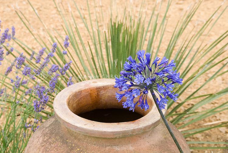 Blue Agapanthus, terracotta pot, ornamental grasses, lavender