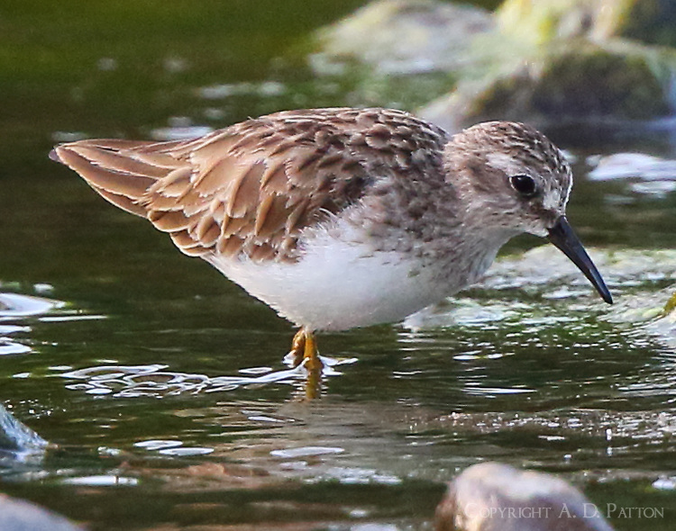 Least sandpiper on winter vacation