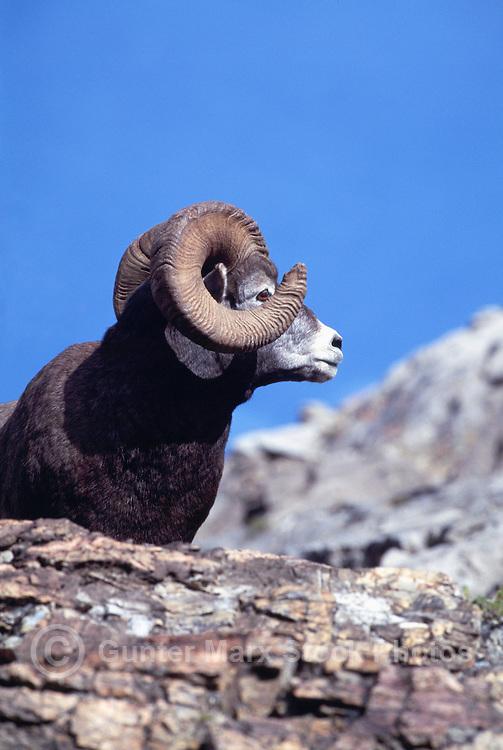 Rocky Mountain Bighorn Sheep Ram (Ovis canadensis), Jasper National Park, Canadian Rockies, AB, Alberta, Canada