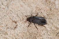 Zweifarbig Behaarter Speckkäfer, Dermestes haemorrhoidalis, Dermestes gulo, skin beetle, Speckkäfer, Dermestidae, skin beetles