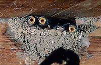 Barn Swallow, Hirundo rustica, adult feeding young in nest in Barn, Oberaegeri, Switzerland, July 1997