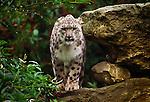 Snow leopard (captive)