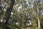 Israel, Sharon region, Eucalyptus trees by Hadera River