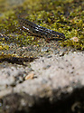 """01/04/16<br /> <br /> A gardener has been stunned by huge numbers of newts that are living in his pond. <br /> <br /> Common newts and the much rarer and protected species of Great crested newts can be spotted within seconds in and around the ornamental garden pond near Wirksworth in Derbyshire. <br /> <br /> Great crested newts are a European protected species. The animals, its eggs and their breeding sites and resting places are protected by law.<br /> <br /> The gardener, who wishes not to be named so as to keep the location of the newts a strict secret said: """"We've had the odd one or two here for the last few years. But this year there are simply masses of them. <br /> <br /> """"You only need to stand here for a few seconds and you can easily see a dozen or so. """"<br /> <br /> """"There's a mix of adults and some young still in the water with their gills. <br /> <br /> """"The adult females are the largest - I saw one today that was more than four inches long. There's also more frogs and frogspawn in the pond than ever before this year. Newts like to eat frog tadpoles so I guess that's one of the reasons why they're doing so well this year"""" he said.<br /> <br /> Great Crested newts are also known as northern crested newts and warty newts.<br /> <br /> Ends<br /> <br /> <br /> Rights Reserved: F Stop Press Ltd. +44(0)1335 418365   www.fstoppress.com."""