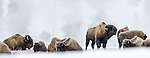 Herd of American Bison (Bison bison) covered in early morning frost. Firehole River Valley. Yellowstone National Park, Wyoming, USA.