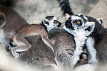 ring-tailed lemur with one month old baby on mothers back