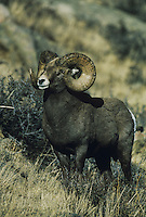 Bighorn Sheep, Mountain Sheep (Ovis canadensis), adult male, Rocky Mountain National Park, Colorado, USA