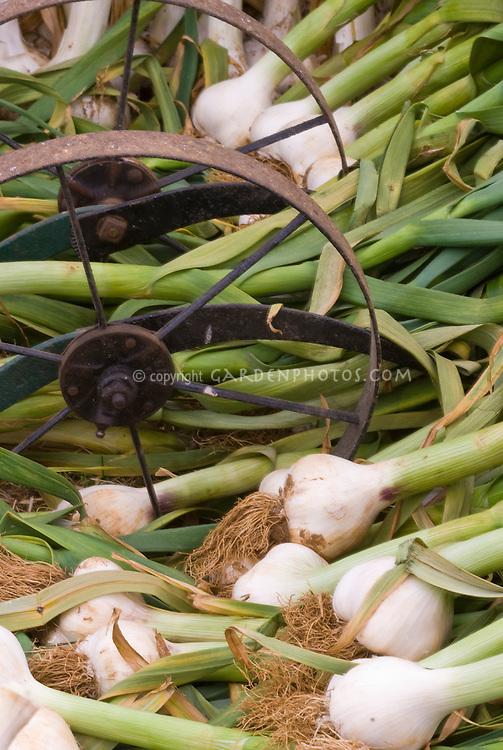 Garlic Allium sativum with stems attached, wrought iron wagon wheel - white garlic